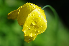 Wet Welsh Poppy (Serigrapher) Tags: flower macro wet yellow garden stockport poppy welsh tamron 90mm woodley meconopsis meconopsiscambrica cambrica