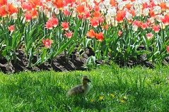 Gosling in a tulip country (beyondhue) Tags: red baby white ontario canada flower grass lawn canadian goose chick tulip bloom gosling patch tulipfest beyondhue