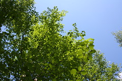 Summer. (Ivycube) Tags: blue trees summer sky green leaves forest koivu birch mets betula kes taivas vihre lehdist