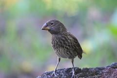 DSC03793.Fugl (Fink) Puerto Ayora, Santa Cruz, Galapagos (Berit Christophersen) Tags: santacruz bird finch galapagosislands