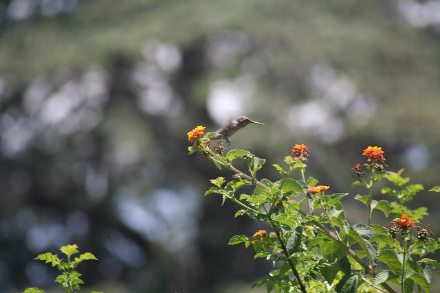 Hummingbird_at_Geek_Hill_2013-441
