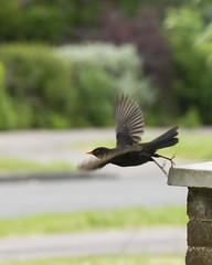take-off (Jill Sawyer Phypers) Tags: bird garden flight blackbird gardenbirds spring13