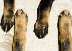 GSD Feet 2013-06-16-3 (falon_167) Tags: dog puppy shepherd german gsd germanshepherddog kastle aikon