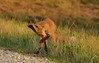 Red Fox kit (snooker2009) Tags: red summer fall nature animal outdoors spring wildlife small cleaning fox kit pup washing dailynaturetnc12 photoofthedaynwf12 photocontesttnc13