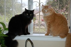 Snopes and Ratio BFF (emo65170) Tags: cats cat kitten kittens gato cutecats bff ratio snopes sweetthings catpics