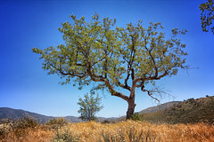 Tree at Three Sister's Trailhead (Photos By Clark) Tags: california unitedstates sandiego cities places location where northamerica descanso locale canon1740 canon60d 170400mm