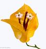 bougainvillea flower (z.benabbou) Tags: flower nikon bougainvillea d800 colseup amazingdetails silveramazingdetails
