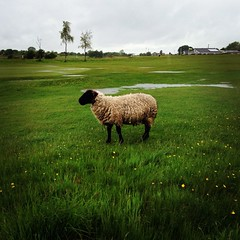 Golf in Wales (chappo2611) Tags: green wet grass rain sport wales golf sheep golfcourse rough fairway deluge waterlogged