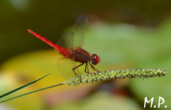 Red Dragonfly (matteo_pappa) Tags: red macro nature animal garden insect drgonfly