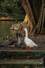 Viva a diversidade! (luc@sCarvalho) Tags: verde gua lago paisagem rvore patos ganso parques 60d cnon