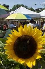 Sunflower and Bumblebee (rjseg1) Tags: flower farmers market bee bumblebee sunflower lincolnpark