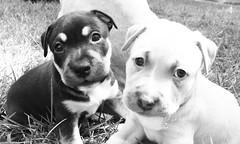Puppies (AlexRuz) Tags: puppies foster pittbull adoption pitty babydogs spayneuter helpsaveadog ldlnoir bellasbullybuddies
