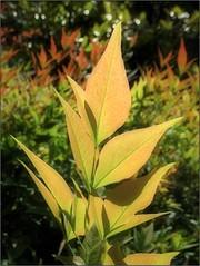 (Tölgyesi Kata) Tags: garden leaf arboretum foliage nandinadomestica heavenlybamboo levél sacredbamboo budaiarborétum withcanonpowershota620 japánszentfa égibambusz mennyeibambusz