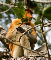 Proboscis Monkey chewing on a large leaf in the jungle (WhitcombeRD) Tags: park travel wild portrait food brown tree cute nature face rain animal forest indonesia mammal nose monkey leaf big rainforest asia long branch sitting natural feeding eating wildlife national jungle sarawak malaysia borneo ape tropical chewing destination species endangered southeast erection creature habitat primate rare sabah malay bako proboscis protected inquisitive primitive nosed longnose behaviour foraging arboreal bekantan nasalis larvatus