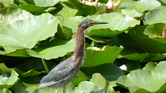 """Heron In Lilypads • <a style=""""font-size:0.8em;"""" href=""""http://www.flickr.com/photos/77994446@N03/9639652367/"""" target=""""_blank"""">View on Flickr</a>"""