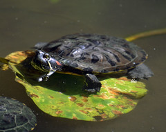 Enjoying the summer sun (bbic) Tags: nature leaf turtle terrapin bucharestbotanicalgarden broascatestoasa