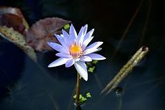 Sunny purple waterlily and mottled leaves (jungle mama) Tags: waterlily purple fairchildgarden fairchildtropicalbotanicgarden supershot purplewaterlily sunrays5 founderspool