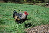 Wayland (© S. D. 2010 Photography) Tags: red chickens grass birds rock easter island mix feathers free buff rooster rhode range barred hens australorp wyandotte orpington egger ranging