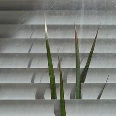 Wolverine's claws (TheManWhoPlantedTrees) Tags: tmwpt nikond3100 bsquare braga quadratum quadrado curtains lines wolverine cinematic cinemage green shadows leaves