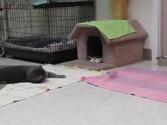 Laser Light Show! (Star Cat) Tags: rescue cat feline homeless kitty shy mimi shelter animalshelter hokafi sheltervideo