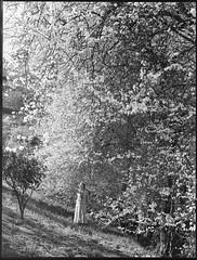 Almond blossom near Montecute (State Records SA) Tags: blackandwhite photography australia almonds historical southaustralia montecute almondblossom frankhurley srsa staterecords staterecordsofsouthaustralia staterecordsofsa