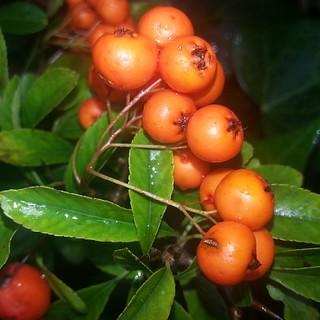 #autumn #berries #orange #nature