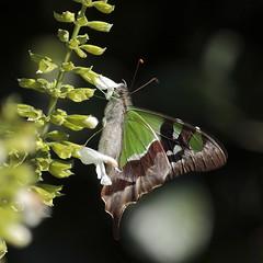Siproeta stelenes (Yanick Saindon) Tags: papillon australie malachite siproetastelenes 2013