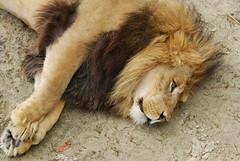Lion King. Dierenpark Emmen, The Netherlands. (Alexander Adema) Tags: nederland netherlands zoo dierentuin animal d60 dierenpark emmen fauna lion king leeuw 70300mm f4556 dier tier animals dieren