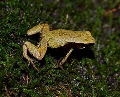 Mantella crocea (MantellaMan) Tags: amphibian endangered madagascar anura mantella crocea