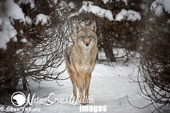 Coyote Tekiela--3 (Stan Tekiela's Nature Smart Wildlife Images) Tags: wild copyright canada nature animal animals sport hair fur mammal photography marine outdoor britishcolumbia critter wildlife hunting images coastal stockphotos land critters creatures mammals terrestrial claws professionalphotographer animalia mammalia hunt saltwater digitalimages stockimages naturalist vertebrates stockimage wildlifephotography mammae gamespecies vertibrate allrightsresereved stantekiela placentals allrightsreservered coyotecanuslatrans naturesmartwildlifewordsandimages