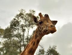 Deeerp? (Park Doc) Tags: africa park light wild portrait sun cute nature colors beauty animal closeup fauna spectacular golden nikon kenya safari national ii mara di 1750 giraffe savannah serengeti tamron f28 maasai xr rotschild d7100