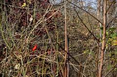 Cardinal (Adventurer Dustin Holmes) Tags: bird nature birds animal animals outdoors cardinal wildlife aves missouri ozarks animalia redbird bennettsprings dallascounty chordata bennettspring lacledecounty