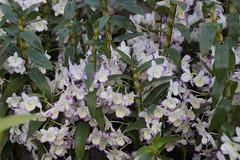 (ddsnet) Tags: plant orchid flower sony taiwan 99 taichung    slt      leaves  singlelenstranslucent 99v