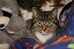Christmas cat: Lobke (H. Bos) Tags: christmas cat kat sleepy lovely pussycat poes lief kerst lobke slaperig geefommij