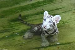 "White Bengal Tiger ""Cub"" - Panthera tigris bengalensis (HGHjim) Tags: zoo cub tigris loweryparkzoo bengaltiger bengalensis panthera whitebengaltiger zoophotos pantheratigristigris pantheratigrisbengalensis loweryparkzootampaflorida"