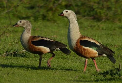 Orinoco Goose, Hato El Cedral. Venezuela