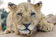 Tired cub on the rock (Tambako the Jaguar) Tags: wild portrait cute face rock cat southafrica cub big nikon small lion young tired lying johannesburg lionpark d4