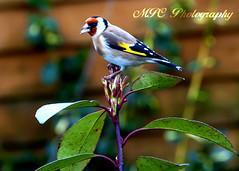 Goldfinch (MalachyConey) Tags: bird garden nikon wildlife goldfinch 18200mm d90 nikond90 mpcphotography