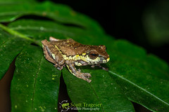 Orlovs Gliding Frog (Rhacophorus orlovi) (NatureStills) Tags: wild slr nature wet rain animal horizontal fauna forest asian nationalpark highresolution nikon rainforest asia southeastasia vietnamese natural legs outdoor wildlife border stock amphibian nopeople frog vietnam professional international jungle tropical fullframe nikkor dslr laos biology fareast identify biological hopping herp slimy oldworld d800 herpetology moist amphib orga