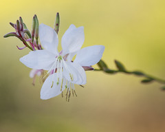 White flower (Mary Susan Smith) Tags: autumn white flower fall bokeh ottawa ruleofthirds ornamentalgardens gamewinner centralexperimentalfarm thechallengefactory tcfwinner tcfunanimouswinner dofshallow pregamewinner