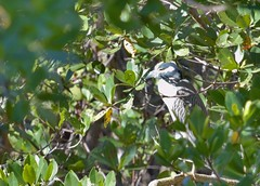 Yellow Crowned Night Heron (Cheshire_Cat) Tags: bird heron florida wildliferefuge dingdarling nightheron yellowcrownednightheron jndingdarlingnationalwildliferefuge dingdarlingnationalwildliferefuge dingdarlingwildliferefuge dingdarlingnwr {vision}:{outdoor}=0971 {vision}:{mountain}=0531 {vision}:{plant}=0945