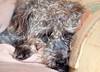 "DSC_0008 - ""Baby, it's cold outside..."" (SWJuk) Tags: uk england rescue home dogs george nikon lancashire sofa terrier asleep 80200 burnley d90 terriermix thelittledoglaughed nikond90 swjuk mygearandme"