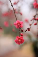 "plum blossoms. ""  (cate) Tags: pink tokyo  japaneseapricot plumflowers"