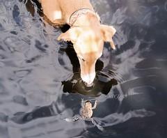 DSC_0048 - The Princess and the Frog (SWJuk) Tags: uk england sunlight lake home dogs water spring nikon princess britain lancashire frog gb ruby rowley burnley 2014 nikond90 salukigreyhound rowleylake swjuk apr2014 thelittledoglaughedtellstoriesplease