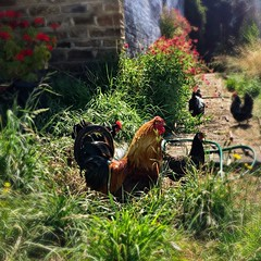 Franklin, Tasmania. Chooks.