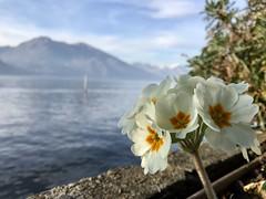 Bellezza senza #filtri. #flowers #como #lake #bellagio #sunday (Tonis_24) Tags: filtri flowers como lake bellagio sunday