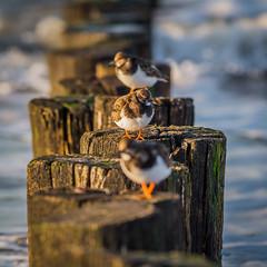 Turnstone (steenbergendaniel) Tags: beach winter coast domburg hoogduin strand steenloper turnstone outdoor nature outdoors walcheren zeeland netherlands nederland noordzee northsea zeeuwse kust paalhoofd sea zee