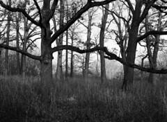 Grove of oaks (pabs35) Tags: film believeinfilm mediumformat 120 ilford fp4 fp4plus ilfordfp4plus mamiya m645 1000s mamiyam6451000s lcfpd lakecountyforestpreserve oldschool oldschoolforestpreserve oak tree grove blackandwhite bw