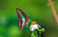 Graphium sarpedon connectens (Changer4Ever) Tags: nikon d7200 nikkor butterfly animal life nature color colorful bokeh dof depthoffield closeup macro outdoor season bright light wild wildlife