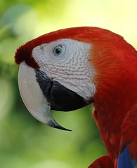 Ara rouge_1789 (Chris the Borg) Tags: wildlife costa rica parc national manuel antonio corocovado animaux sauvage ara rouge scarlet macaw perroquet profil yeux vert bec beak gros plan zoomin